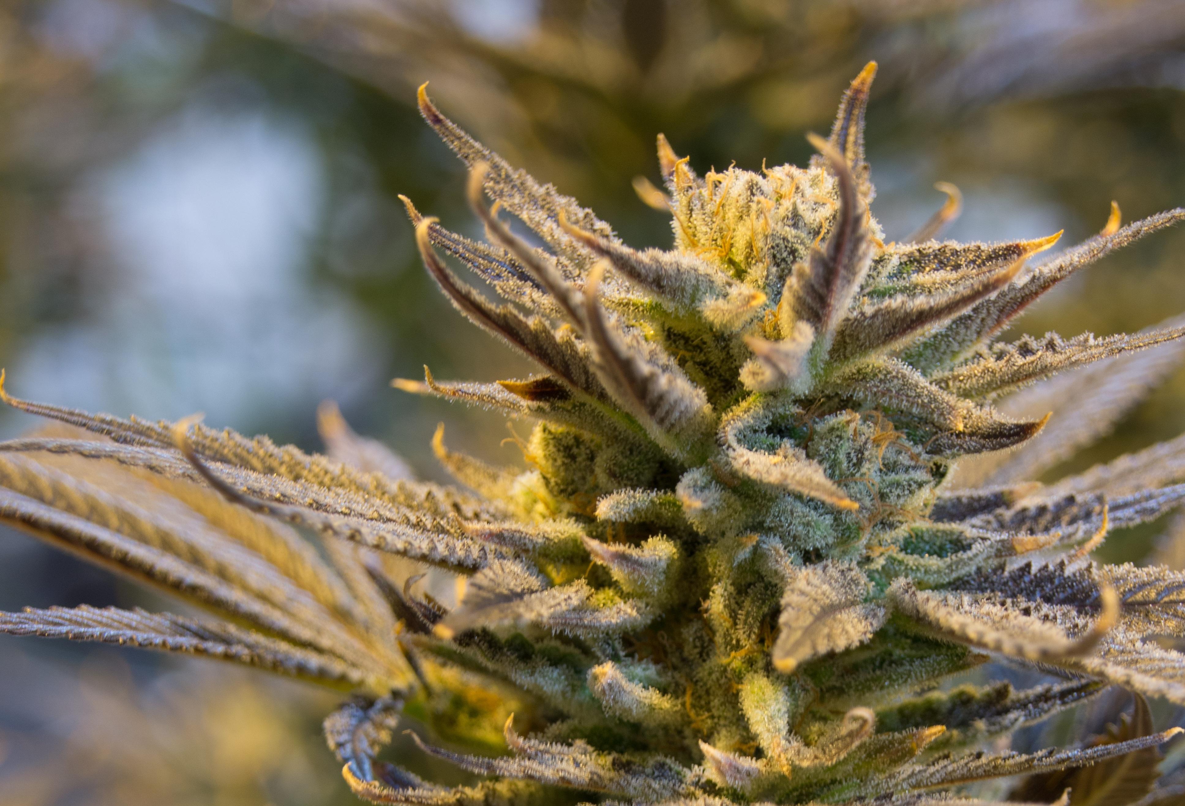 cannabis-2152602
